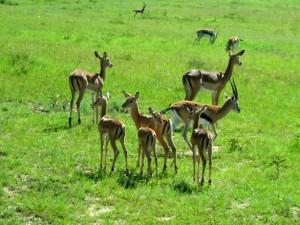gazelle-impala-topi-hartebeest-at-masai-mara-1365791