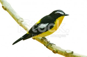 stock-photo-84222287-bird-in-nature-yellow-rumped-flycatcher-perching-on-a-branch