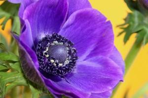 anemone-1024x682
